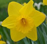 Narcissus 'Arctic Gold' -  Trompeten-Narzisse (Blumenzwiebeln)
