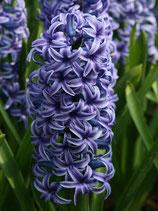 Hyacinthus orientalis 'Blue Jacket' - Garten-Hyazinthe (Blumenzwiebeln)