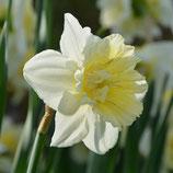Narcissus 'Ice King' -  Gefüllte Narzisse (Blumenzwiebeln)