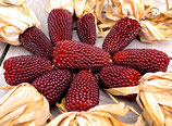 Mais 'Erdbeermais' (Bio-Saatgut, AT-BIO-301)