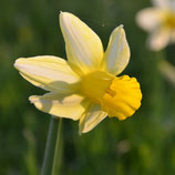Narcissus 'Mother Duck' -  Cyclamineus-Narzisse (Blumenzwiebeln)