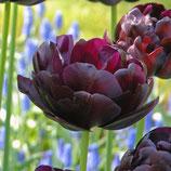 Tulipa 'Black Hero' - Gefüllte späte Tulpe (Blumenzwiebeln)