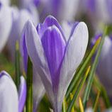Crocus vernus 'Vanguard' - Frühlingskrokus (Blumenzwiebeln)