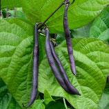 Buschbohne 'Purple Teepee' (Bio-Saatgut, AT-BIO-301)