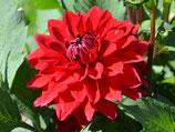 Dahlia 'Heatwave' - Dekorative Dahlie (Bio-Dahlienknollen, DE-ÖKO-037)