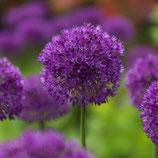 Allium aflatunense 'Purple Sensation' - Purpur-Kugellauch (Bio-Blumenzwiebeln)
