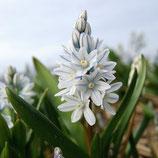 Puschkinia scilloides var. libanotica - Puschkinie (Bio-Blumenzwiebeln)