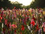 Gladiolen-Mischung 'Pride of Summer' (Bio-Gladiolenknollen, DE-ÖKO-037)