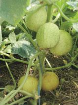 Apfelgurke 'Limona' (Bio-Saatgut, AT-BIO-301)