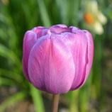 Tulipa 'Blue Diamond' - Gefüllte späte Tulpe (Blumenzwiebeln)