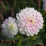 Dahlia 'Wittem' - Dekorative Dahlie (Bio-Dahlienknollen)