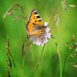 Wildblumenmischung 'Schmetterlingsweide' (Bio-Saatgut, AT-BIO-301)