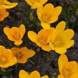 Crocus flavus 'Grote Gele' - Gold-Krokus (Bio-Blumenzwiebeln, DE-ÖKO-037)
