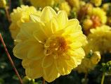 Dahlia 'Golden Emblem' - Dekorative Dahlie (Bio-Dahlienknollen)
