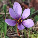 Crocus sativus - Safran-Krokus (Bio-Blumenzwiebeln, DE-ÖKO-037)