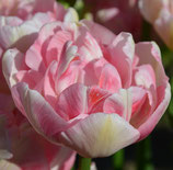Tulipa 'Angelique' - Gefüllte späte Tulpe (Blumenzwiebeln)