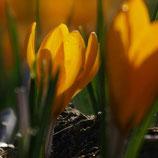 Crocus flavus 'Geel' - Gold-Krokus (Bio-Blumenzwiebeln)