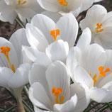 Crocus vernus 'Jeanne d'Arc' - Frühlings-Krokus (Bio-Blumenzwiebeln)