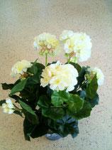 Geranienpflanze weiß