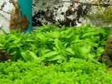Wasserpflanzen-Set (Überraschungsset)