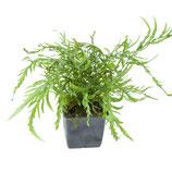 Bolbitis heudelotii XL Mutterpflanze