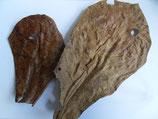 Seemandelbaumblatt 1Stk. (Import; Herkunft Philippinen)