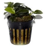 Anubias petite bonsai Anubie