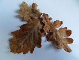Eichenlaub 35 Blätter (ShrimpfarmFFM)