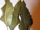 Esskastanienlaub 35 Blätter
