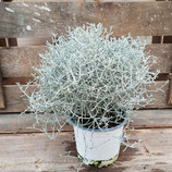 Stacheldrahtpflanze - Calocephalus brownii
