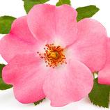 Roos Centifolia (Absolue) 100% 1 ml