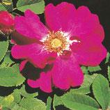 Roos Damascena