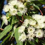 AROMELL - Eukalyptus