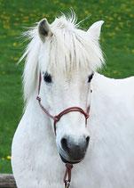Knotenhalfter für Ponys, Fohlen und Kaltblüter in allen Farben auf Bestellung möglich