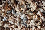 Pelikanfußmuscheln