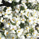Némésia SNOW Blanc
