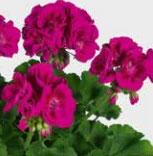 Géranium Zonale Flower Fairy Violet
