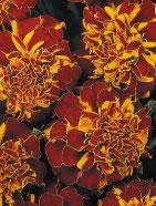 Oeillet d'inde Fleur plate rouge et orange