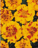 Oeillet d'inde Fleur plate orange et rouge