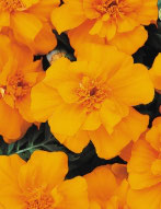 Oeillet d'inde Fleur plate orange