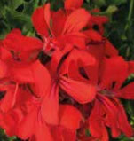 Géranium Grand Idols Rouge