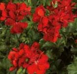 Géranium lierre double  Ruby Rouge