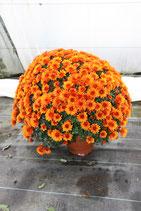 chrysanthèmes petites fleurs 1 couleur contenant : coupe 27cm