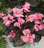 Bégonia Rose feuille bronzée