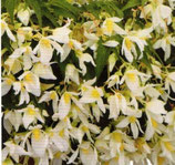 Bégonia SHINE Blanc