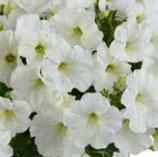 Pétunia CASCADIA Blanc