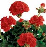 Géranium Zonale Top Barbarrossa Rouge