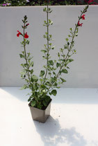 Salvia rouge