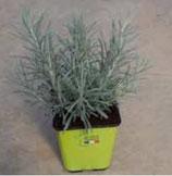 Helichrysum Cury