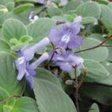 Streptocarpus Bleu